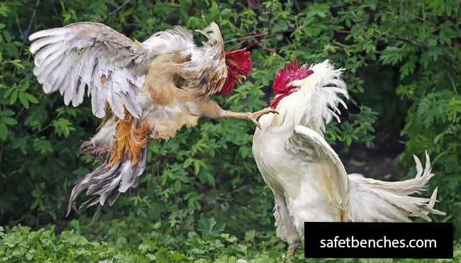 The Facts of Playing Cockfighting Gambling